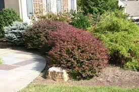 Berberis (Barberry)
