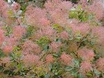 Cotinus (Smoke bush)