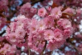 Prunus spp. (Flowering cherry, Flowering plum)