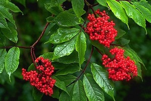 Sambucus (Elderberry)